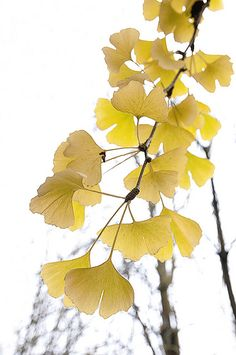 Most Beautiful Orange and Yellow Flowers All orange flowers and yellow flowers are beautiful and with meanings of their own. Yellow Wedding Flowers, Orange Flowers, Ginko Tree, Gingko Leaf, Fleurs Art Nouveau, Types Of Oranges, Gravure Photo, Summer Plants, Flower Aesthetic