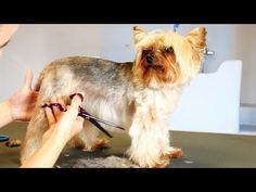 Grooming Guide - Full Grooming Yorkshire Terier #33 - YouTube