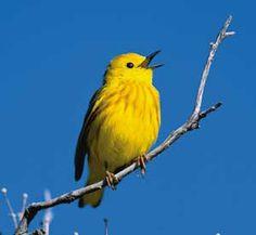 Yellow Warblers, Setophaga Petechia. | Faith Sees Birds