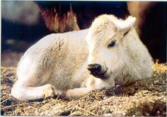 White Buffalo Baby ♥ For Native Americans, a symbol of Hope: Native Americans see the birth of a white buffalo calf as the most significant of prophetic signs. Read about The Legend & Importance of the White Buffalo.