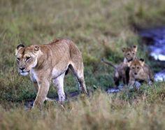 Zambia bans hunting of big cats   Envrionment   MiNDFOOD