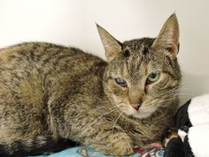 BRUSSELS - A1105910 - - Manhattan  *** TO BE DESTROYED 03/22/17 *** A staff member writes: I'm pretty new to the shelter, and still a little nervous to be here. If you're looking to help out a cat in need, I may be the purrfect choice! My right eye has some scarring, but if you give me the chance to get to know you, you'll find that I'll be the apple of your eye. **Poor Brussels has an issue going on with her eye and she's been moved to isolati