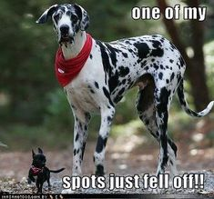 this is so funny because my best friend has a huge great dane and I have a 4 pound Chihuahua #greatdanefunny