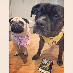 Come closer mum as we need everyone to see our fabulous bandanas that arrived today from are lovely friends Madness & Margot @madness_the_pugman_and_she .. How kind of them .. Remember to enter our #mabebri5kgiveaway & mum made a bit of bloop.. She said only one entry per account but if you have more than one doggy you can have an entry for each pup ... Enjoy your weekend folks.. #pugbasement #feature_do2 #dogsofinstagram #pugmob #pugnation #zerozeropug #puglove #smilingpugs #pugrequest…
