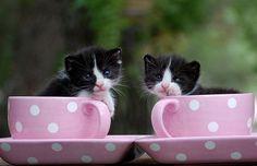 Two black and white kittens sitting in two pink & white polka dota mugs.