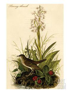 Tawny Thrush Premium Poster by John James Audubon at Art.com
