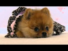 Meet Jiff, the self wrapping puppy burrito! by jiffpom  #Dogs #Puppy_Love #Pom #Self_Wrap