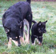 grandmother/grandsohn. Husky, Dogs, Animals, Animales, Animaux, Doggies, Animais, Husky Dog, Dog