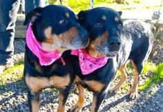 "PLEASE CHECK OUT THELMA AND LOUISE AT""ROTTS OF FRIENDS ANIMAL RESCUE"" THIS PAIR OF BEAUTIFUL ROTTIES ARE SO LOVING AND CUTE AND JUST NEED TO BE ADOPTED TOGETHER. THEY WOULD JUST LOVE TO COME AND SHARE ALL OF THEIR LOVE AND LOYALTY WITH THEIR FOREVER FAMILY AND THEY WILL BRING YOU ENDLESS LOVE."