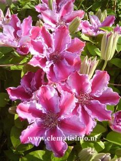 clematis tudor - Google Search