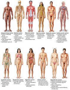 Major organ systems of the human body