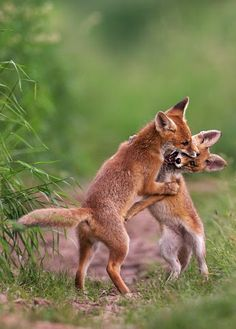 Red Fox Cubs by Oliver Richter