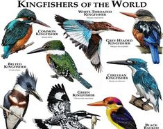 Kingfishers of the World Art Print by Wildlife Art by Roger Hall - X-Small Common Kingfisher, Kingfisher Bird, Animals Of The World, Animals And Pets, Unique Animals, Eagle Animals, Art Et Illustration, Illustrations, Bird Identification