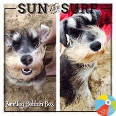 Bentley Bobbin Bos loves the beach at Ramsgate, Kwa-Zulu Natal. Mini Schnauzer, Miniature Schnauzer, Kwazulu Natal, Schnauzers, Surfing, Pets, Beach, Holiday, Animals