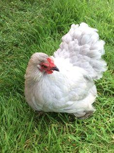 Lavender pekin hen. Pekin Chicken, Cool Photos, Beautiful Pictures, Doodle Doo, Raising Chickens, Cute Creatures, Hens, Feathers, Rooster