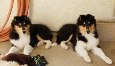 Black Tri Collie pups! :)