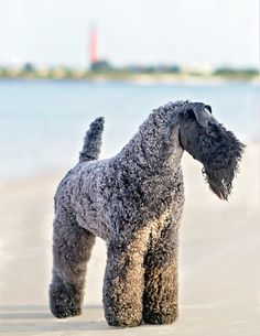Kerry Blue terrier I miss mine everyday!!!!