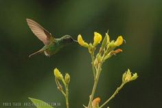 mis fotos de aves: Amazilia saucerottei Amazilia Coliazul Steely-vent...