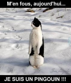 Do you know why the penguin's belly is white, the back is black? A: because penguins take a shower can wash to the stomach. Baby Animals, Funny Animals, Cute Animals, Crazy Cat Lady, Crazy Cats, I Love Cats, Cool Cats, Tier Fotos, White Cats
