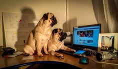 """Today is Bubble's first day as """"Assistant Manager"""" at Maurice the Pug's Office  #mauricethepug #bubble #queenb #office #bussines #firstday #assistant #CEO #facebook #newjob #romania #tirgumures #puglife #pugstory #pugchat #company #pug #topfirm #mops #dog #puppy"""