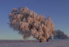 Windbuchen - der letzte schöne Wintertag von Rolf Dietz