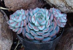 Echeveria minima.   Echeveria minima is a miniature with tiny rosettes of very chubby, frosty blue leaves. Leaves are frosty rose at tips and along margins.Clusters profusely to form a small mound and produces small orange bell-shaped flowers in late spring.