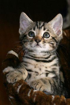 "Marble Male Bengal Kitten ~ ""Jameson"" ~ shown here at 7 weeks old por Junglelure en Flickr"