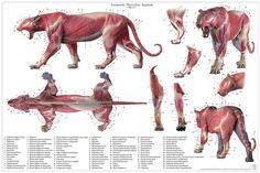 Leopard Anatomy Chart