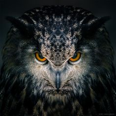 "https://flic.kr/p/rdttoz | Awakening (Preview) |Sibirischer Uhu - Eurasian eagle-owl  ( Bubo bubo ) | Just testing a version of Awakening, part of my series ""Birds of prey"".  LR & PS  Wildfreigehege Hellenthal ( <a href=""http://www.greifvogelstation-hellenthal.de/index.php/de/"" rel=""nofollow"">www.greifvogelstation-hellenthal.de/index.php/de/</a>)"