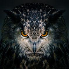 "https://flic.kr/p/rdttoz   Awakening (Preview)  Sibirischer Uhu - Eurasian eagle-owl ( Bubo bubo )   Just testing a version of Awakening, part of my series ""Birds of prey"". LR & PS Wildfreigehege Hellenthal ( <a href=""http://www.greifvogelstation-hellenthal.de/index.php/de/"" rel=""nofollow"">www.greifvogelstation-hellenthal.de/index.php/de/</a>)"