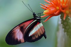 Postman Butterfly | Flickr - Photo Sharing! Photo credit Martien Uiterweerd Flying Flowers, Butterfly Wings, Wonders Of The World, My Images, Color Patterns, Butterflies, September 2014, Photo Credit, Holland