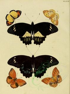 butterflies-06449 - image [2459x3271] digital transfer vintage century  botanical floral 18th picture craft beautiful 17th ArtsCult.com pre-1923 wall instant public nature scrapbooking scan domain 1700s free Paper Victorian moth nice masterpiece use download collection printable lithographs decoration flora old natural butterfly Graphic qulity collage Pictorial pack Artscult ArtsCult royalty 300 dpi illustration botany pages engravings supplies fabric art 1900s 1800s ornaments paintings…