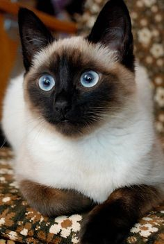Beautiful Siamese!                                                                                                                                                                                 More