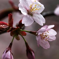Cherry Blossoms - Guelph Ontario Canada #art #photography #spring #blossoms #cherryblossoms #pink