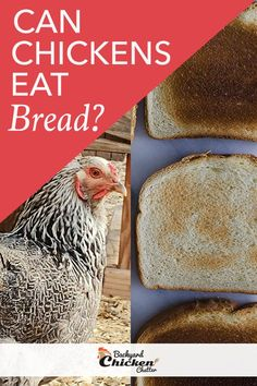 """One of the things you cannot believe that chickens eat is a loaf of bread. If you are in doubt, I will answer the question, """"Can chickens eat bread? What Can Chickens Eat, Pet Chickens, Backyard Chickens, Raising Chickens, Chicken Eating, Chicken Feed, Canned Chicken, Breaded Chicken, Chicken Treats"""