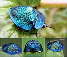 The Imperial tortoise beetle (Stolas imperialis) is a species of beetle found in Brazil.