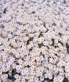 A field of daisies.
