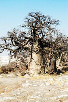 Baobabs in the Lekhubu Island