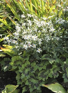 Vit skogsaster - 'Aster Divaricatus' Flower Beds, Garden Flower Beds, Flowers, Aster, Terrace Garden, Perennials, Plants, Plant Combinations