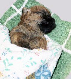 Sleeping | Flickr - Photo Sharing! Dreamsmitten Cairn puppy Suzi sleeping.