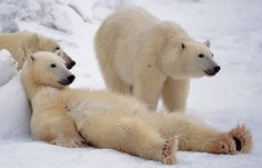 Bad Boys of the Arctic