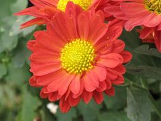 Chrysanthemum | red Chrysanthemum « flower pictures