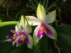 Orchids care provides proper details on how to grow orchids until they become healthy and bloom flowers Exotic Flowers, Tropical Flowers, Amazing Flowers, Beautiful Flowers, Colorful Flowers, Types Of Orchids, Different Types Of Flowers, Rare Orchids, Pink Orchids