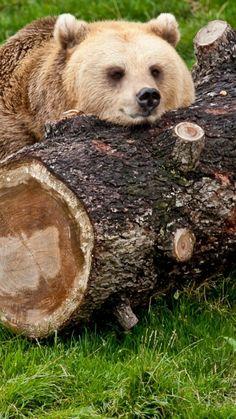 bear, timber, lying, rest