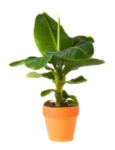 Banana tree on pinterest banana plants bananas and trees for Growing olive tree indoors