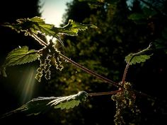 nettle, burning, sunshine and darkness in forest Darkness, Dandelion, Sunshine, Flowers, Plants, Travel, Voyage, Dandelions, Flora