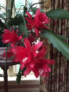 Epiphyllum Ackermannii Red Orchid Cactus Red Orchids, Christmas Cactus, Crassula, Succulents Garden, Flowering Succulents, Succulent Gardening, Garden Plants, House Plants, Planting Flowers