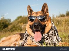 german shepherd dog wears sunglasses and neckerchief