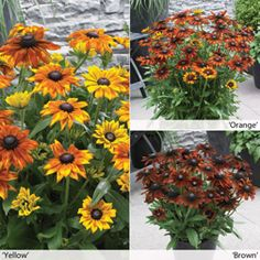 Summerina Collection, new perennial rudbeckia for your borders www.hydeparklandscape.com