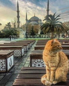 Selection: Beautiful Hagia Sophia cat of the day - Animals Pictures I Love Cats, Crazy Cats, Cute Cats, Funny Cats, F2 Savannah Cat, Hagia Sophia, Mundo Animal, Beautiful Cats, Cat Memes